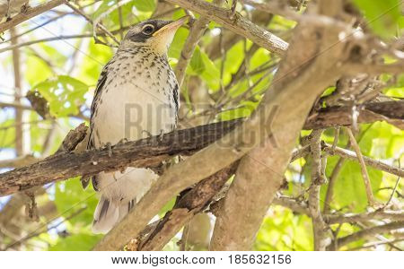 Juvenile Mocking Bird Sitting in a Tree Waiting to be Fed