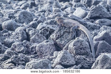 A Marine Iguana Blends in Well on Top of Lava Rocks by the Seashore