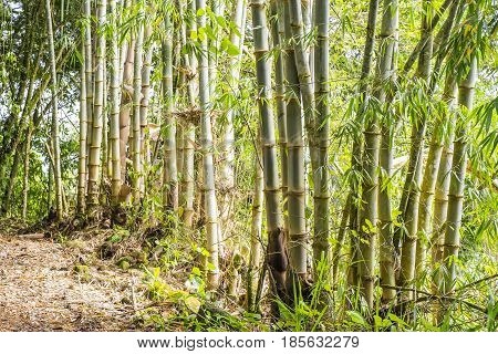 Bamboo Plants in Mindo Ecuador in South America