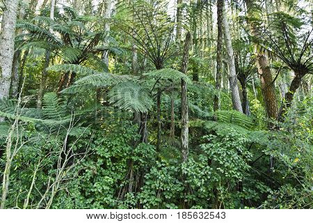 New Zealand Native Bush trees and ferns