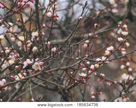 The fruity fragrant tree blossoms very beautifully
