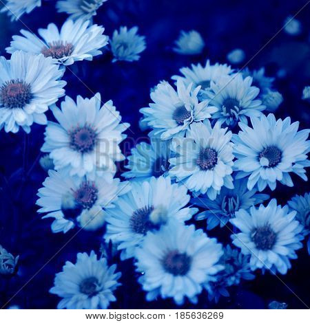close up of daisies with blue filter