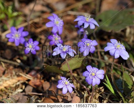 Snowdrops (Hepatica nobilis) blooming in the spring forest