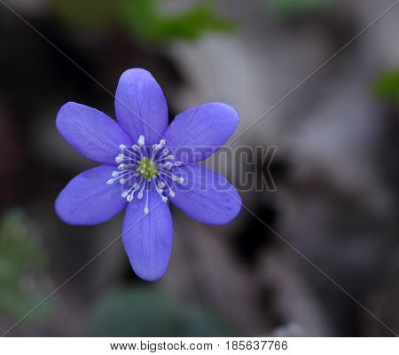 Snowdrop (Hepatica nobilis) blooming in the spring forest