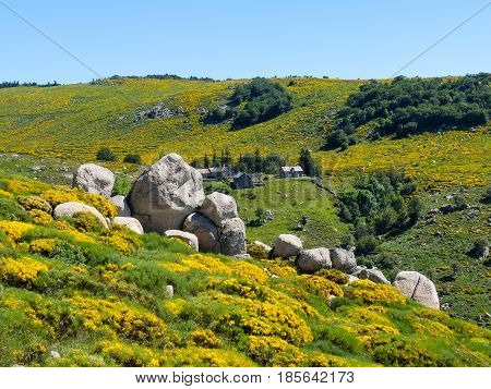 Hamlet in the moor with rocks and blooming brooms in the Cevennes mountains near Trenze Mont Lozere France
