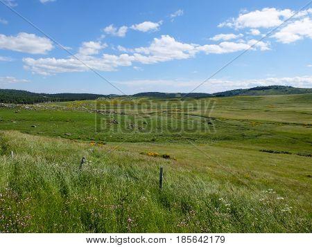 Grassland with brooms at Mont Lozere near Mas de la Barque in the Cevennes mountains France