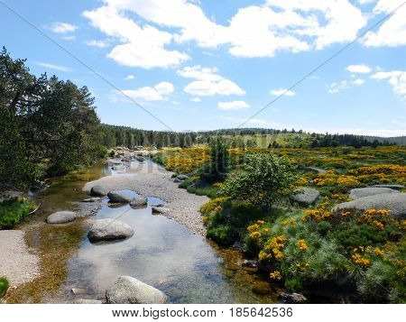 The river Tarn and moor with blooming brooms at Mont Lozere in Cevennes mountains France