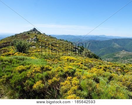 Moor with blooming brooms in the Cevennes mountains near Viallas France