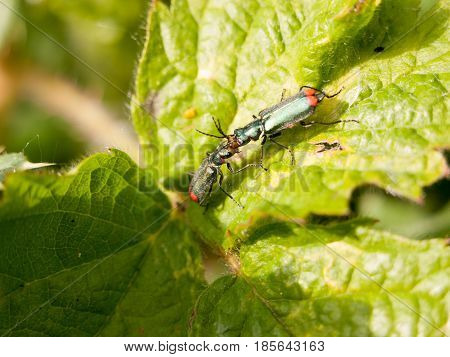 Close Up Of Two Bugs Fighting On Top Of A Leaf Outside In The Spring Late Afternoon Macro
