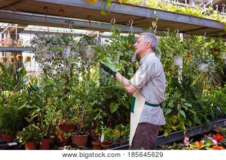 Greenhouse worker examining a plant