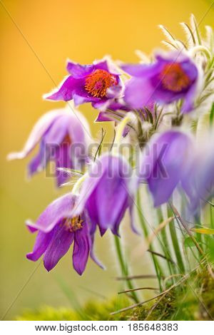 Wild Pasque flower, Pulsatilla vulgaris during sunrise, close-up.