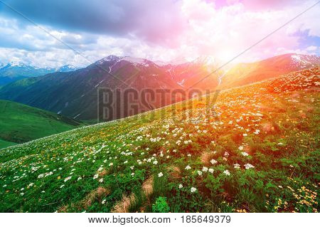 Amazing white flowers on summer mountain. Dramatic sky and colorful sunset