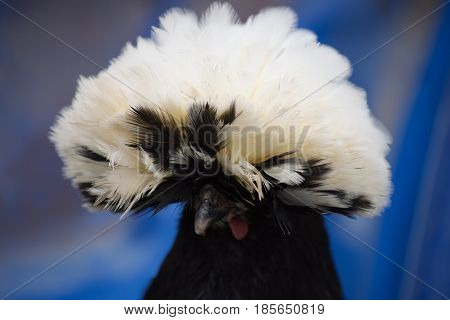 Head of White Crested Black Polish Chicken with white feather crest against a blue background. Photographed with shallow depth of field in natural light.