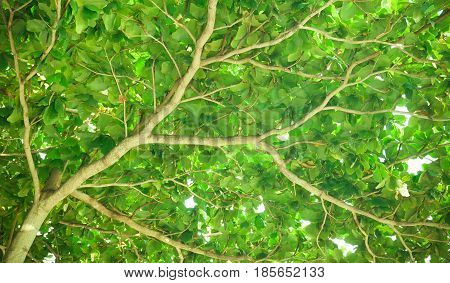 Branches and deep green foliage of tropical sea almond tree for background use. (Terminalia catappa Bengal Almond Indian Almond)