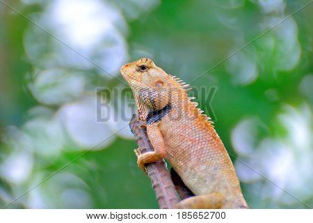 Close-up Chameleon on a stick on blur background.