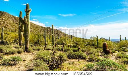 The semi desert landscape of Usery Mountain Reginal Park near Phoenix Arizona with its many varieites of Cacti such as the Saguaro, Cholla, Barrel, Pencil Catus and Ocotillo Cactus