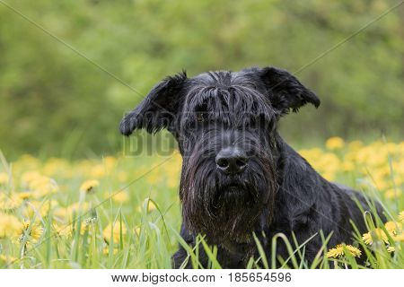 Portrait of the Giant Black Schnauzer Dog lying at the blossoming dandelion meadow
