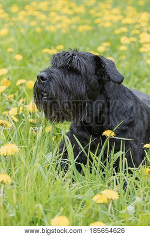 Side view of the Giant Black Schnauzer Dog lying at the blossoming dandelion meadow. Vertically.