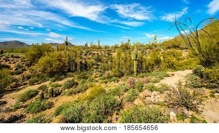 Saguaro, Ocotillo and Barrel Cacti in the semidesert landscape along the hiking trail to the Windy Cave on Usery Mountain near Phoenix, in Maricopa County, Arizona