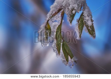 Close-up of frozen green leaves in winter