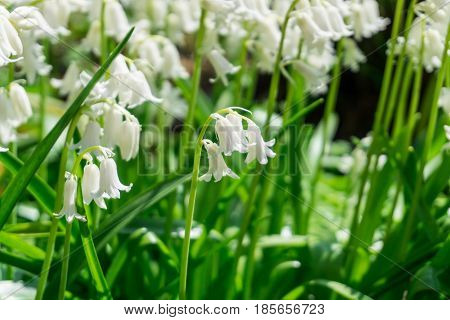 Lily of the valley with green leaves in the sunshine