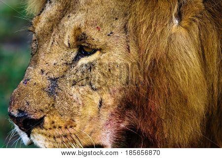 Head of a large lion. Kenya, Africa