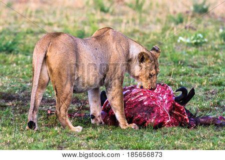Lioness near the prey. Masai Mara, Kenya