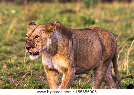 Large lioness in the savannah. Masai Mara, Kenya