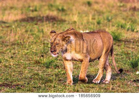 Lioness in the savannah. Masai Mara, Kenya