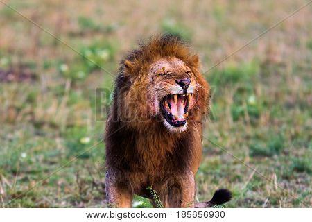 Terrifying roar of a lion. Masai Mara, Kenya. Africa