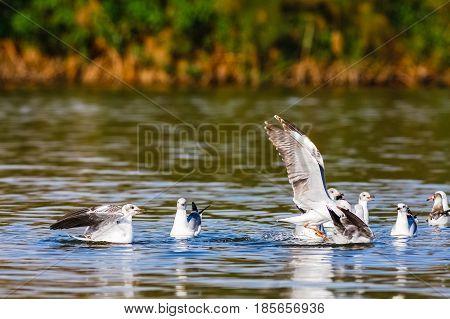 Fish! The battle of gulls. Naivasha lake, Kenya