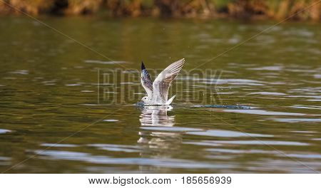 Fish! The gull on the water. Naivasha lake, Kenya