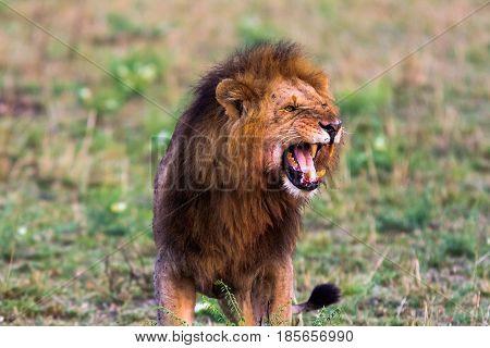 Terrifying roar of a african lion. Masai Mara, Kenya