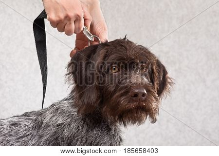 hands of woman fastening the leash to collar of dog