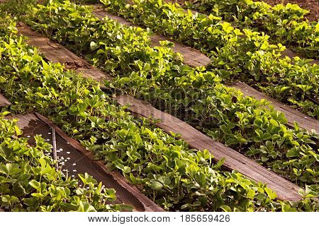 Organic Strawberries Field In Farm Russia. Bushes In The Spring, Paths Made Of Wood