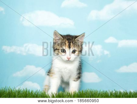 One calico kitten standing on grass looking slightly down to viewers right. Blue background sky with clouds.