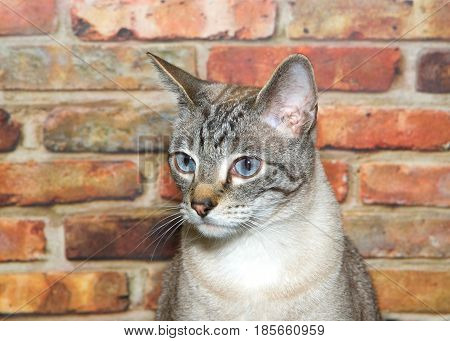 Portrait of a cream and tan tabby cat looking to viewers left sitting in front of a brick wall.