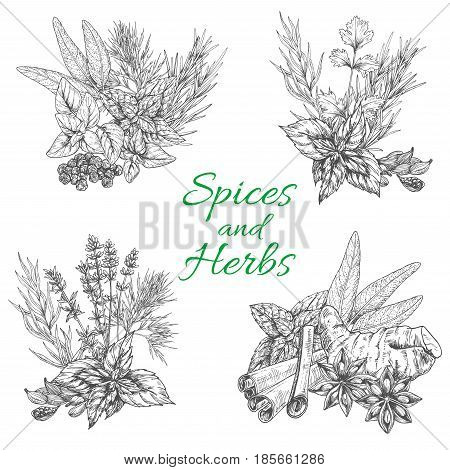 Spices and herbs vector. Sketch seasonings bunch of dill or peppermint and sage leaf, anise seeds and bay dressing, tarragon rosemary or oregano and thyme flavoring, vanilla and cinnamon or parsley