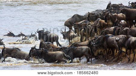 Blue wildebeest (Connochaetes taurinus) cross a river in the Masai Mara on their great migration. Kenya.