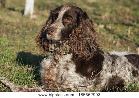 Brown spotted russian spaniel lays on the green grass soft focus background