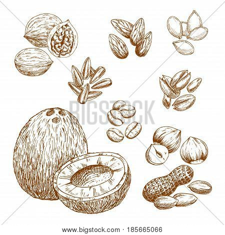 Nuts and nutrition seeds sketch vector icons of almond or pistachio, coconut, cashew or peanut and coffee beans. Isolated symbols of walnut or hazelnut, sunflower and pumpkin seeds or pine nut kernels