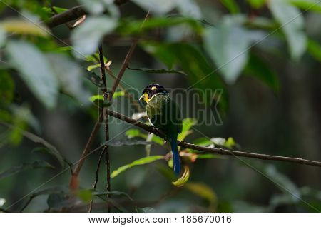 Colorful Bird Long Tailed Broadbill On Tree Branch