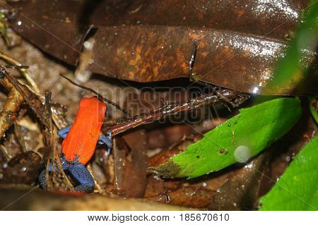 top view of strawberry or blue jeans dart frog on brown leaf