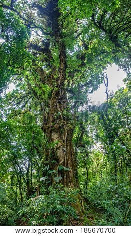 Wide angle panoramic view of entire tree in the forest of Costa Rica