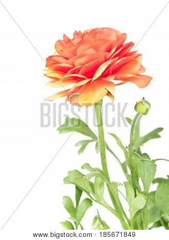 Bright red buttercup with green leaves isolated over white background
