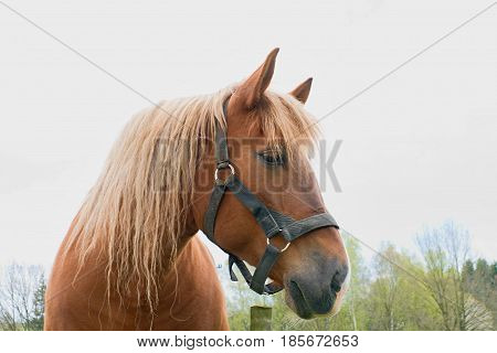 Portrait Of A Thoroughbred Chestnut Stallion. Horse Head