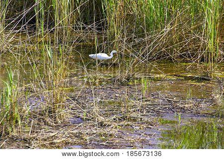 detail of egretta garzetta in wetland , italy