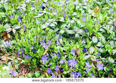 Violet (blue-violet)  Flowers. Green And Violet Background