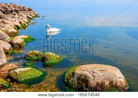 The Baltic Sea coast with swans. Mersrags