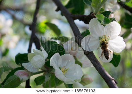 Bee pollinates white apple blossom flowers in spring